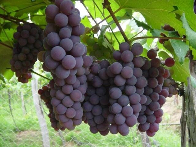El INTA desarrolló cuatro nuevas variedades de uva de mesa