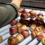 Promulgan ley que declara la emergencia para la producción de peras y manzanas