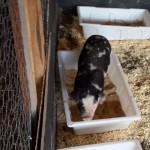 El 30 de junio: Jornada de capacitación porcina en Caseros