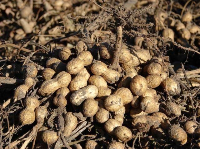Otra víctima de la sequía: el 80% del maní está afectado
