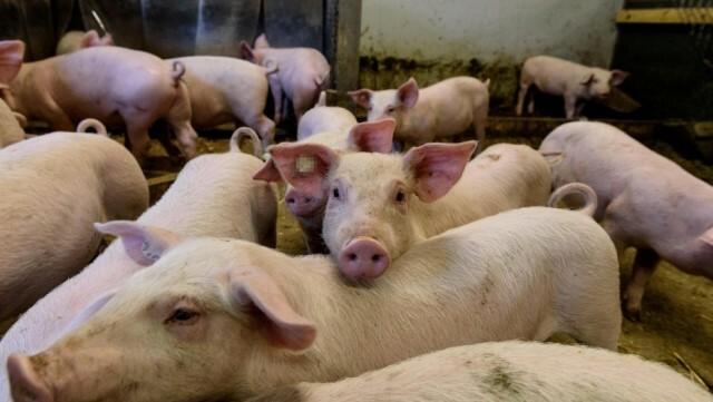 Tras casi tres décadas… Argentina volverá a comprarle carne de cerdo a EE.UU.